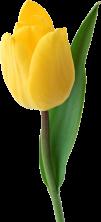 tulip_png9005